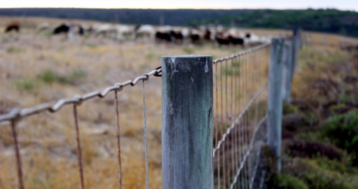 A row of fence posts that surround a herd of cattle.