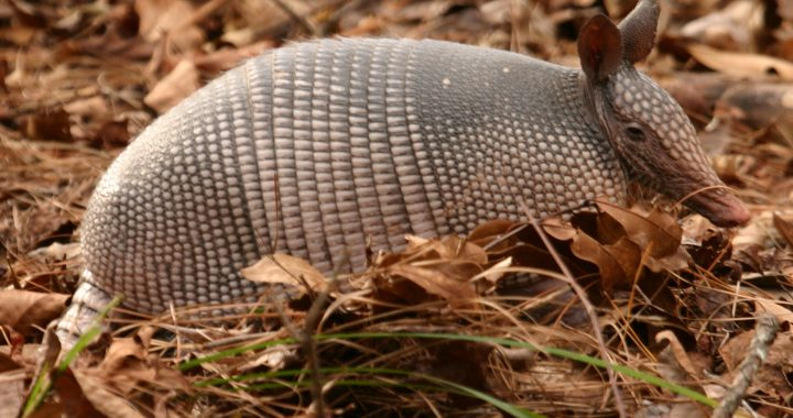 A Texas Armadillo in fall leaves.