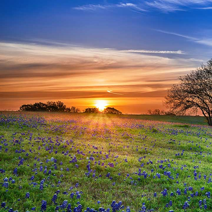 A field of bluebonnets in front of a sunset on acreage of Texas land.