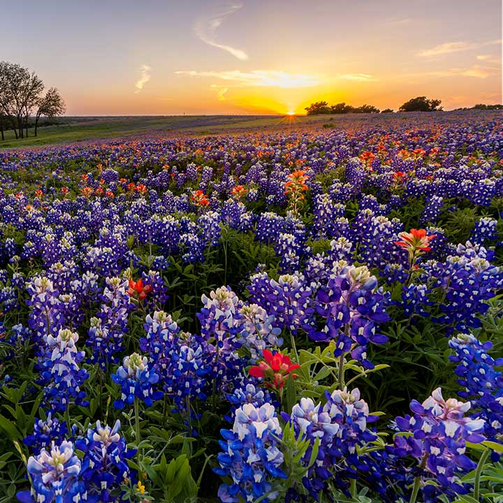 A field of bluebonnets on acreage of Texas land.