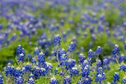 A field of Texas bluebonnet flowers.
